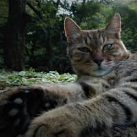 『地域猫(別称野良猫)と家猫と、どちらも可愛く・愛おしい 3』 ―耳カットは飼い主のいない不妊手術済み『地域猫(別称野良猫)』のしるしー
