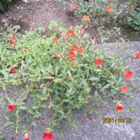 10月 自宅周辺に咲く「花」