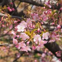 一条戻り橋の河津桜