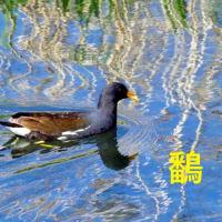 上江津健軍川のカイツブリ