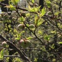 花いろいろ・梅の実も