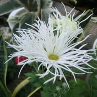 サガギクの花は