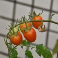 ぐんぐん育つ野菜たち
