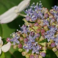 紫陽花の季節到来