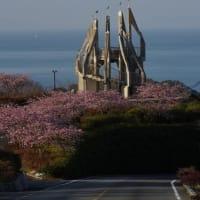 河津桜満開 御立岬にて
