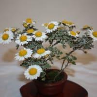 「おはようの花」 季節の山野草 アシズリノジギク(足摺野路菊)   11月