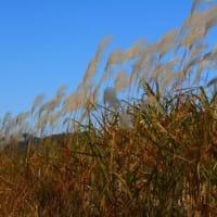 秋の風情 『ススキ』