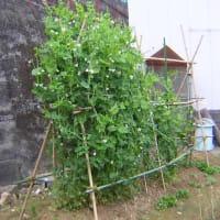 豌豆の冬越し第4話