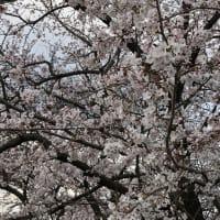 東浦和周辺の桜の開花情報vol'4!