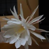 神秘的な花・月下美人・・・☆