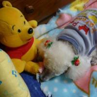 犬の睡眠時間・そして暖を求める老犬トイプードル キョロ (・.・ )( ・.・) キョロ