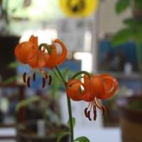 「おはようの花」  クルマユリ  6月