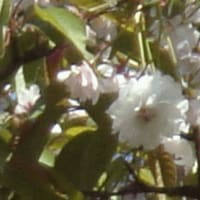 このはな桜
