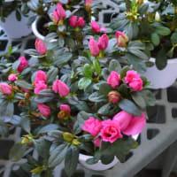 「世界の椿館・碁石」のアザレア 2020年3月15日(日)