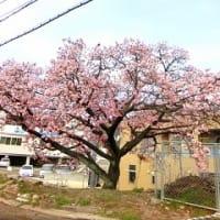 海田市の桜