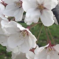 嵐丘庭の桜