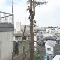 高さ20m以上の高木をロープワークで特殊伐採作業