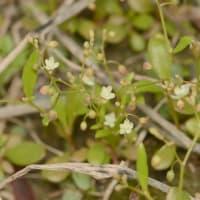 黒川の植物3
