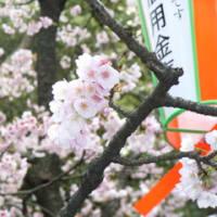 花は上野よ 柳は銀座