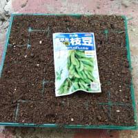 枝豆の種を蒔きました