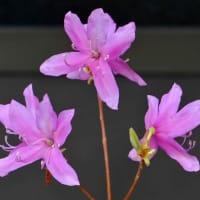 鉢植えのツツジ(3) 「ミツバツツジ」