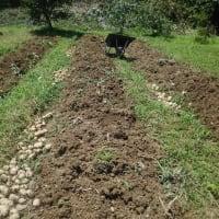 雨続きで、遅れていたジャガイモを収穫しました。