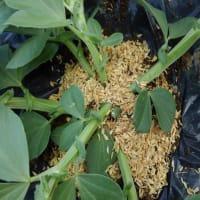 そら豆の仕付けと芯切り、脇芽処理、暴風対策