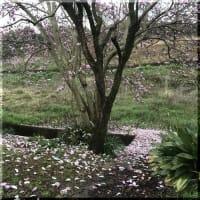 わが家の桜も開花