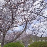 和多津美神社の桜
