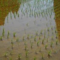 やっと水が溜まった山間の田圃・・・少しの時間を見つけては、押し植え作業です。山間の田圃では、水が無くなると、ムジナが走り回り、苗が無くなります。