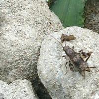昆虫観察バッタ目編、こんなオンブバッタあるか? ショウリョウバッタ、ヤマトフキバッタ、他