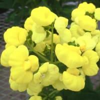 カルセオラリア・ミダスの花は