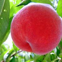 さあ!人気品種あかつき桃狩りスタートです。