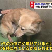 京都の観光名所に野犬多数 住民「群れて怖い」