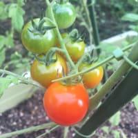 トマトとカメムシ