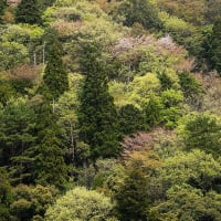 4/21 奥熊野の新緑(山桜)紀和町〜十津川