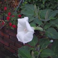 キカラスウリ ダチュラの花