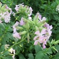 ソープワートの花は
