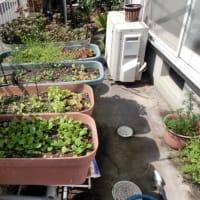 我家の野菜畑