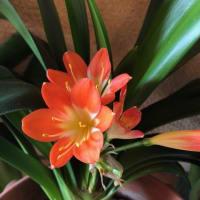 『君子蘭』の開花
