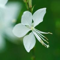 ●我が家の7月の花(8) 白蝶草(ハクチョウソウ)