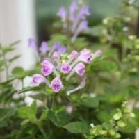 「おはようの花」 タツナミソウ(立浪草) 4月