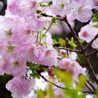 美しい八重咲きの桜