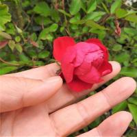 ミニバラ       儚く、深く、遠い香り     千葉県市川浦安アスファルト脇植物園・自宅