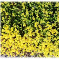 初夏に咲く花(^^♪きれいな星型の黄色い花が茎の先端にいっぱい「コモチマンネングサ(子持万年草)」