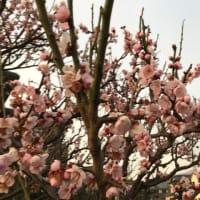 桜色に染まって夕方散歩