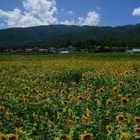 富士見町のひまわり畑で最後の夏を感じる