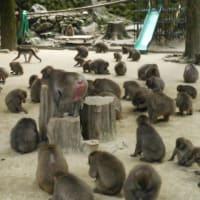 猿が戻った「高崎山」に 客は戻らず「おお痛」県