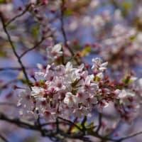 鴻ノ峰の桜