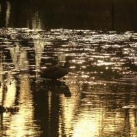 ●夕暮れのカルガモとアオサギ 奥卯辰山健民公園